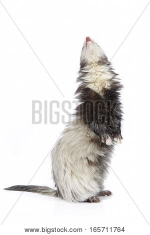 Staying angora ferret on white background posing for portrait in studio
