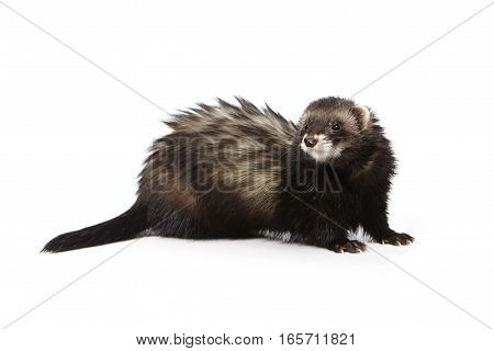 Black ferret on white background posing for portrait in studio