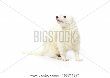Dark eyed white ferret on white background posing for portrait in studio