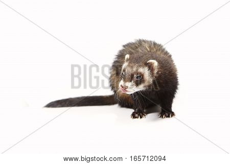 Standard color ferret on white background posing for portrait in studio