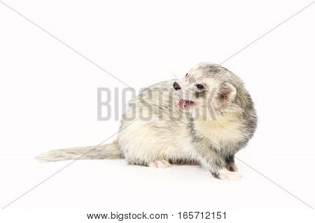 Silver ferret on white background posing for portrait in studio