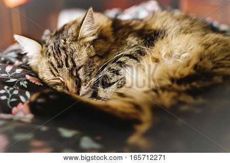 Cute Brown Tabby Sleeping On Bed, Adorable Sweet Moment, Adopt Concept