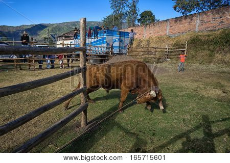 August 13 2016 Ibarra Ecuador: bull is being pulled into the ring on rope at a rural rodeo