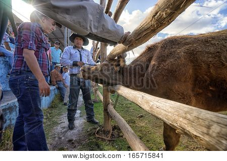 August 13 2016 Ibarra Ecuador: charging bull in ring at the La Esperanza bullfight game