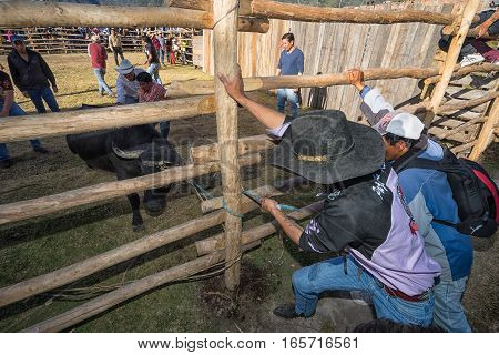 August 13 2016 Ibarra Ecuador: men restrain a bull with rope during a local rodeo event in Esperanza