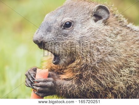 Closeup side view of young Groundhog (Marmota Monax) holding carrot mouth wide open