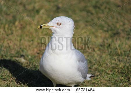 intriguing look of seagull waiting for its food