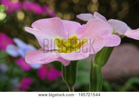 Polyanthus primrose pink spring flower growing in garden