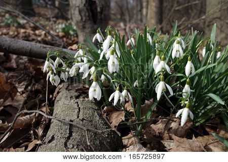 close up of fresh white snowdrops in the woods with fallen log