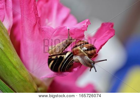 Two snails with a pink gladiolus  flower on the background.