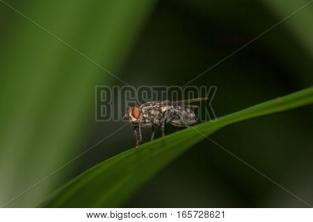 A fly on a green leaf,Fly is carrier of diarrhea,Macro of a green fly