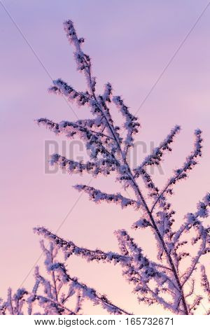 Covered With Hoarfrost Branch On A Light Background