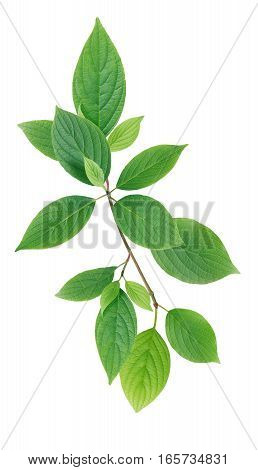 Twig with green leaves on white background