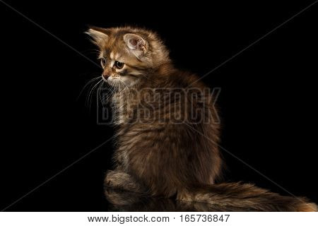 Brown Siberian kitty sitting and looking left on isolated black background with reflection, back view on tail