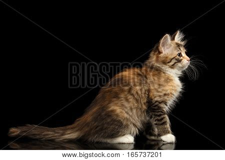 Ginger Tabby Siberian kitty sitting on isolated black background with reflection, side view