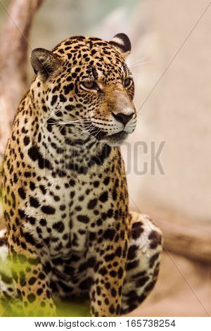 close up full body of leopard panthers looking eyes contact