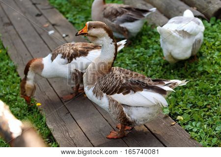 Geese walking on the street and eat grass in the summer in the village.