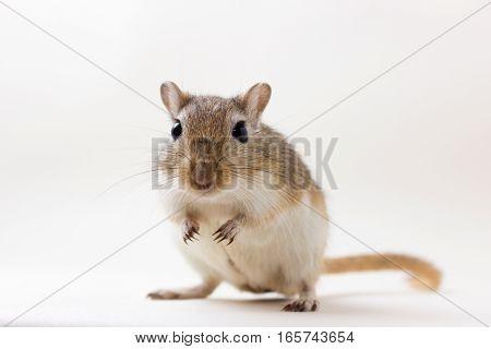 Gerbil - Cute Pet