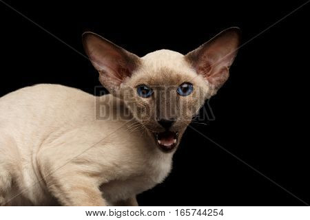 Close-up Peterbald kitty siamese coat with blue eyes, big ears sitting and meowing on isolated black background, side view