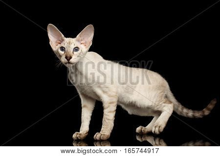 Peterbald kitty silver color with blue eyes, big ears standing and looking for, isolated black background with reflection, side view