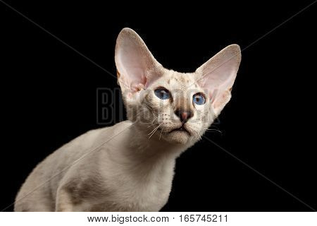 Closeup Peterbald kitty silver color with blue eyes, big ears and looking up, isolated black background with reflection, front view