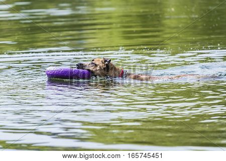 dog swims in the lake with the ring in his mouth on a summer day