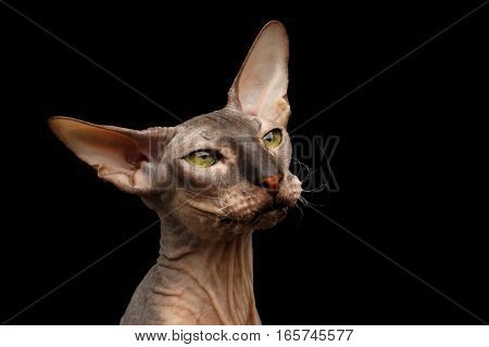 Closeup portrait of hairless Peterbald Cat with green eyes and big ears, wrinkles on neck and funny whiskers, calmy watching isolated black background, front view