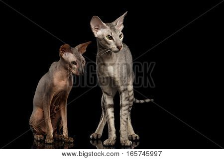 Two Peterbald Cats family hairless and silver with green eyes, Standing and Stare isolated black background, front view
