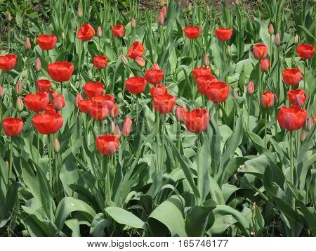 Spring day, red flowers tulips on plantation
