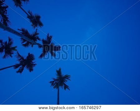 bottom view of betel palm tree or Manila Palm tree with dark blue sky background at dawn