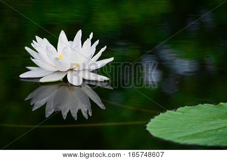 Closeup white lotus in the the pond