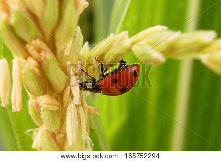 Picture of a seven-spot ladybird climbing on a plant