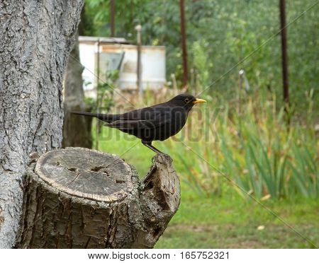 Picture of a blackbird standing on a woden stump