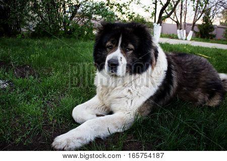 Caucasian Shepherd a large guard dog. Fluffy Caucasian shepherd dog is lying on a green grass