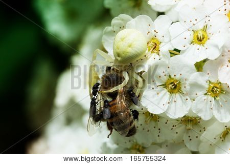 white spider eating bee. A spider attack a bee while her prey is eating pollen on a white flower