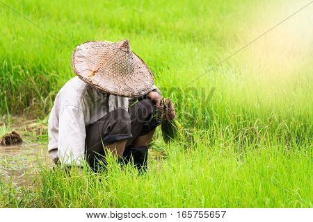 Farmer is planting rice in the rice field