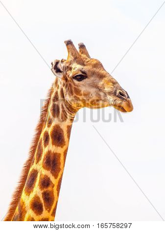 Close-up portrait of giraffe with head and long neck on white background, African wildlife in Etosha National Park, Namibia, Africa.