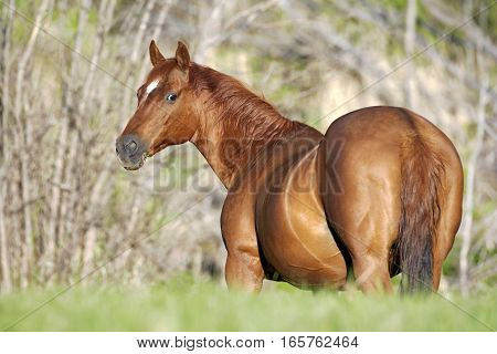 Beautiful Quarter horse Mare standing in meadow watching