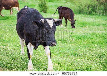 Bulgarian Black White Domestic Cow 'Bos Taurus' mammal European