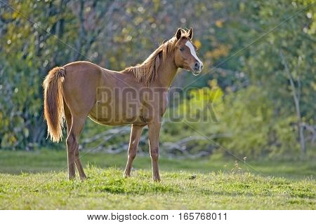 Chestnut Arabian Yearling Horse in meadow, watching