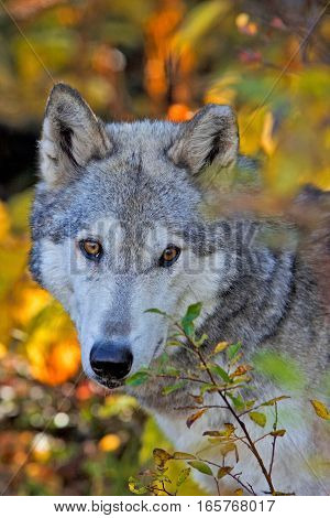 Female Timberwolf watching from behind bush portrait close up