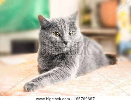Nice adult gray cat deep in thought