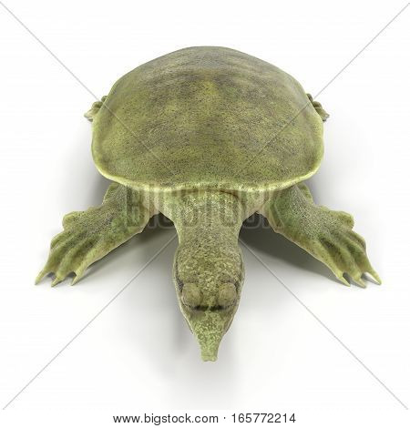 Chinese softshell turtle Pelodiscus sinensis on white background. 3D illustration