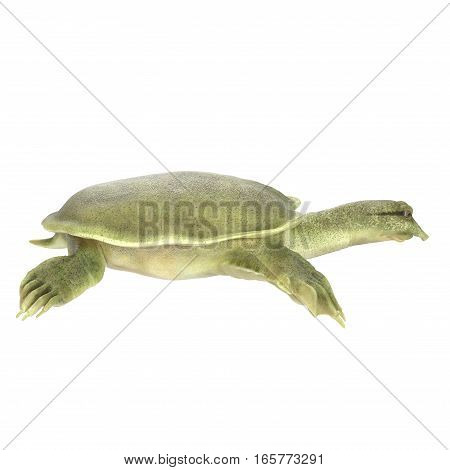 Chinese Softshell Turtle on white background. Side view. 3D illustration