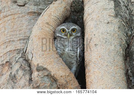 The owl bird stand in the tree hollow