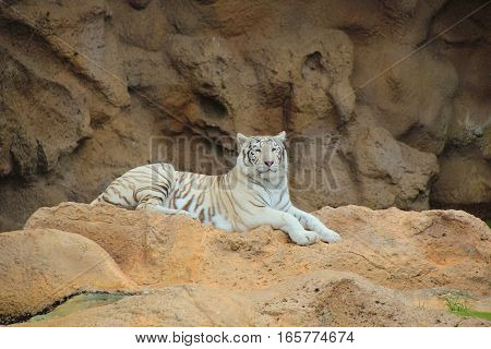 A white tiger lying on the mountain