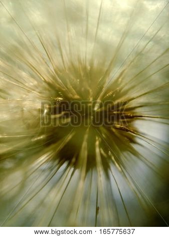 Extreme close up macro of dandelion flower