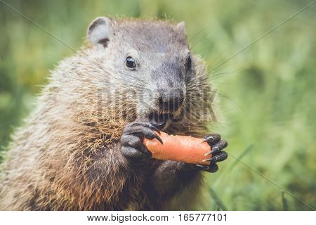 Adorable little Groundhog (Marmota Monax) holding a carrot