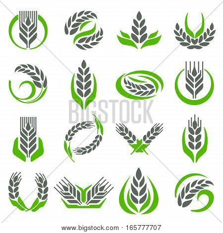 Wheat isolated on white vector illustration. Natural farming ear organic bread crop cereal corn. Growth fresh rye bunch ingredient flour nutrition.