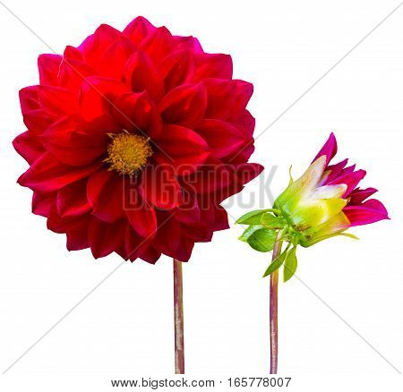 Flower red dahlia isolated on white background red dahlia